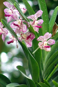 Indonesia Maratua orchidee